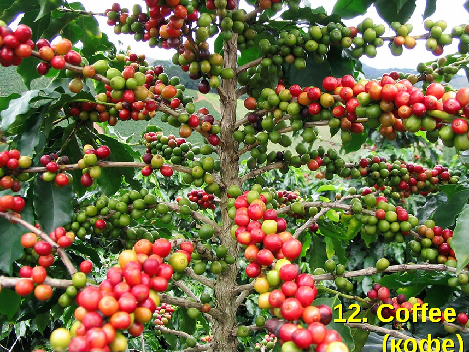 12. Coffee (кофе)