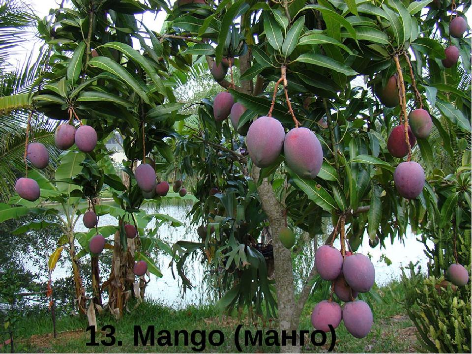 13. Mango (манго)