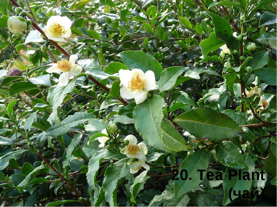 20. Tea Plant (чай)