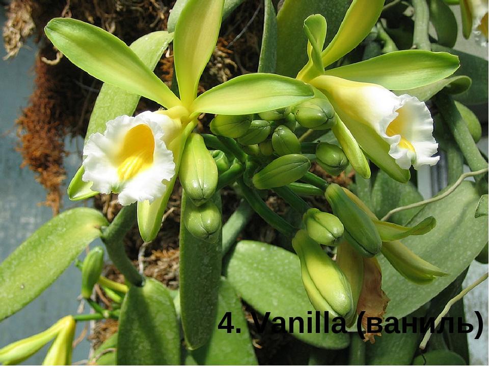 4. Vanilla (ваниль)