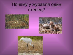 Почему у журавля один птенец?