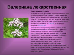 Валериана лекарственная Применение валерианы Валериана как лекарственное раст
