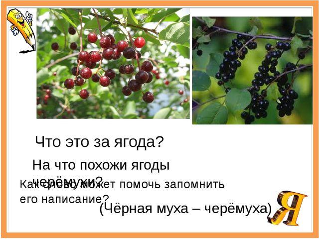 Что это за ягода? На что похожи ягоды черёмухи? Как слово может помочь запомн...