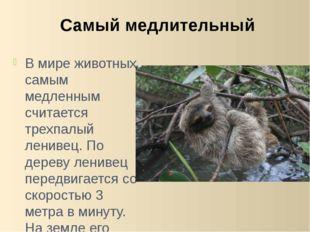 В мире животных самым медленным считается трехпалый ленивец. По дереву лениве