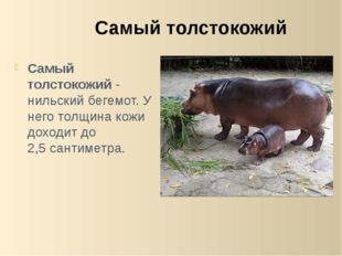 Самый толстокожий- нильский бегемот. У него толщина кожи доходит до 2,5 сант