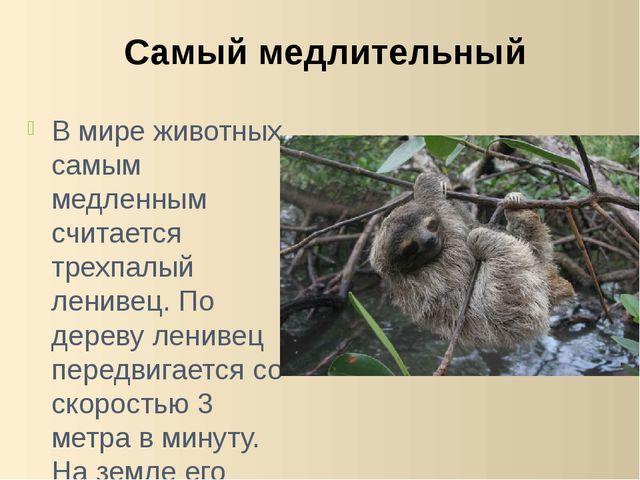 В мире животных самым медленным считается трехпалый ленивец. По дереву лениве...