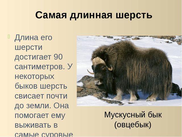 Длина его шерсти достигает 90 сантиметров. У некоторых быков шерсть свисает п...