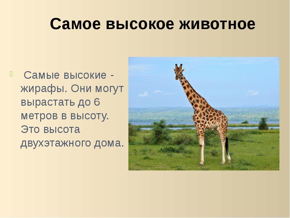 Самые высокие - жирафы. Они могут вырастать до 6 метров в высоту. Это высота...