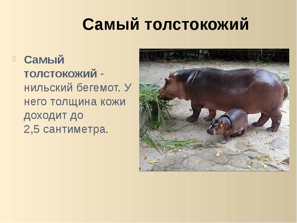 Самый толстокожий- нильский бегемот. У него толщина кожи доходит до 2,5 сант...