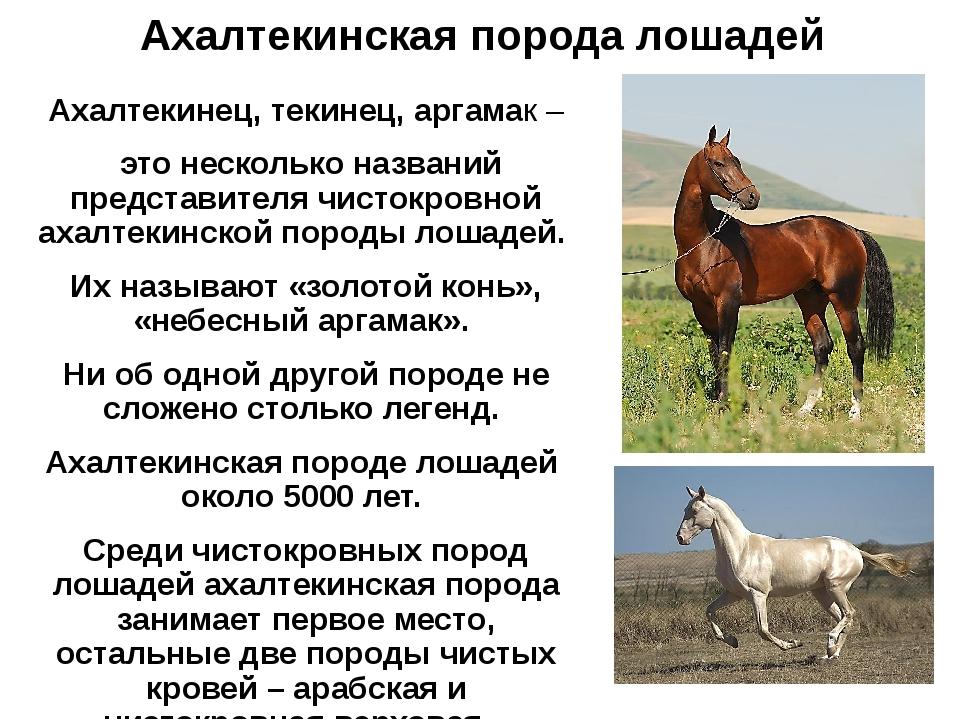Ахалтекинская порода лошадей Ахалтекинец, текинец, аргамак – это несколько на...
