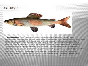 хариус Сибирский хариус – рыба семейства лососевых, обитающая по всей террито