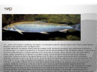 чир Сиг – рыба, относящаяся к семейству лососевых, и считающаяся ценной в про