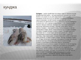 кунджа Ку́нджа— рыба семейства лососёвых Один из видов гольцов. Кунджа крупн