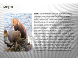 морж Морж – группа ластоногих. Семейство делится на 2 подвида: атлантические