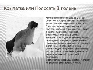 Крылатка или Полосатый тюлень Крупное млекопитающее до 2 м, вес – Около 90 кг