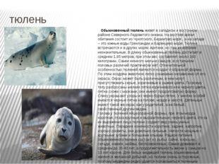 тюлень Обыкновенный тюлень живет в западном и восточном районе Северного Ледо