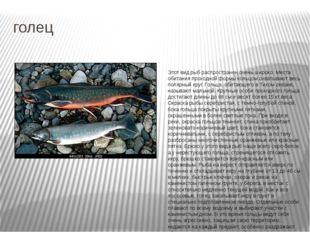голец Этот вид рыб распространен очень широко. Места обитания проходной формы
