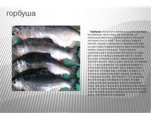 горбуша Горбуша относится к мелким лососям, размеры ее невелики, всего лишь 6