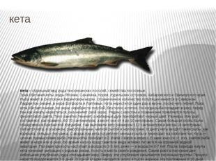 кета Кета – отдельный вид рода тихоокеанских лососей, семейства лососевые. Зо