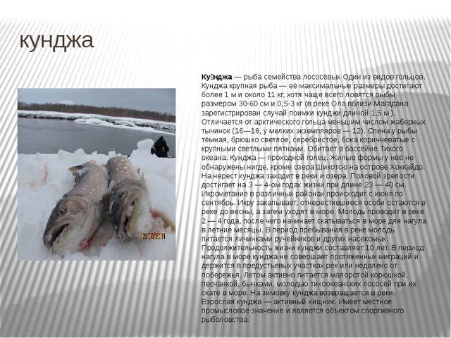 кунджа Ку́нджа— рыба семейства лососёвых Один из видов гольцов. Кунджа крупн...
