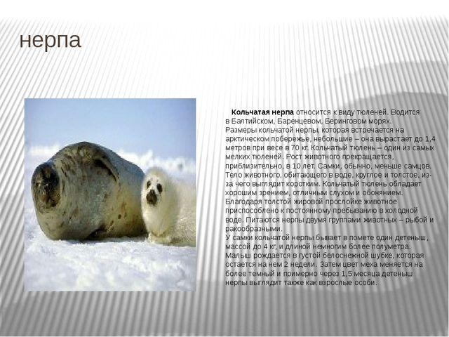 нерпа Кольчатая нерпа относится к виду тюленей. Водится в Балтийском, Баренце...