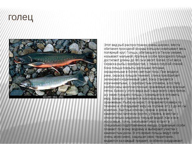 голец Этот вид рыб распространен очень широко. Места обитания проходной формы...