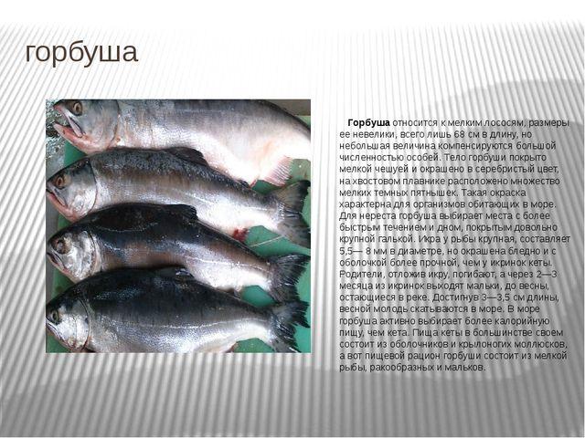 горбуша Горбуша относится к мелким лососям, размеры ее невелики, всего лишь 6...