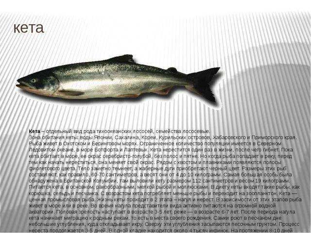 кета Кета – отдельный вид рода тихоокеанских лососей, семейства лососевые. Зо...
