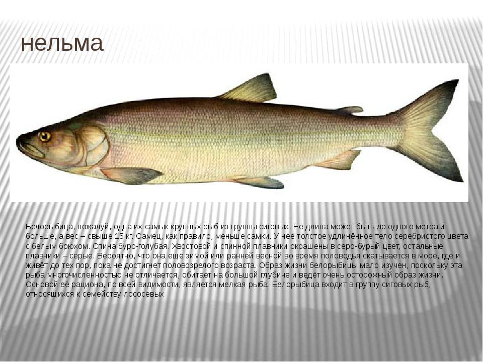 нельма Белорыбица, пожалуй, одна их самых крупных рыб из группы сиговых. Её д...