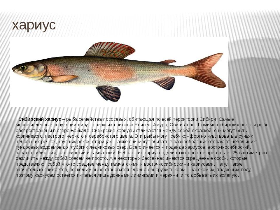 хариус Сибирский хариус – рыба семейства лососевых, обитающая по всей террито...