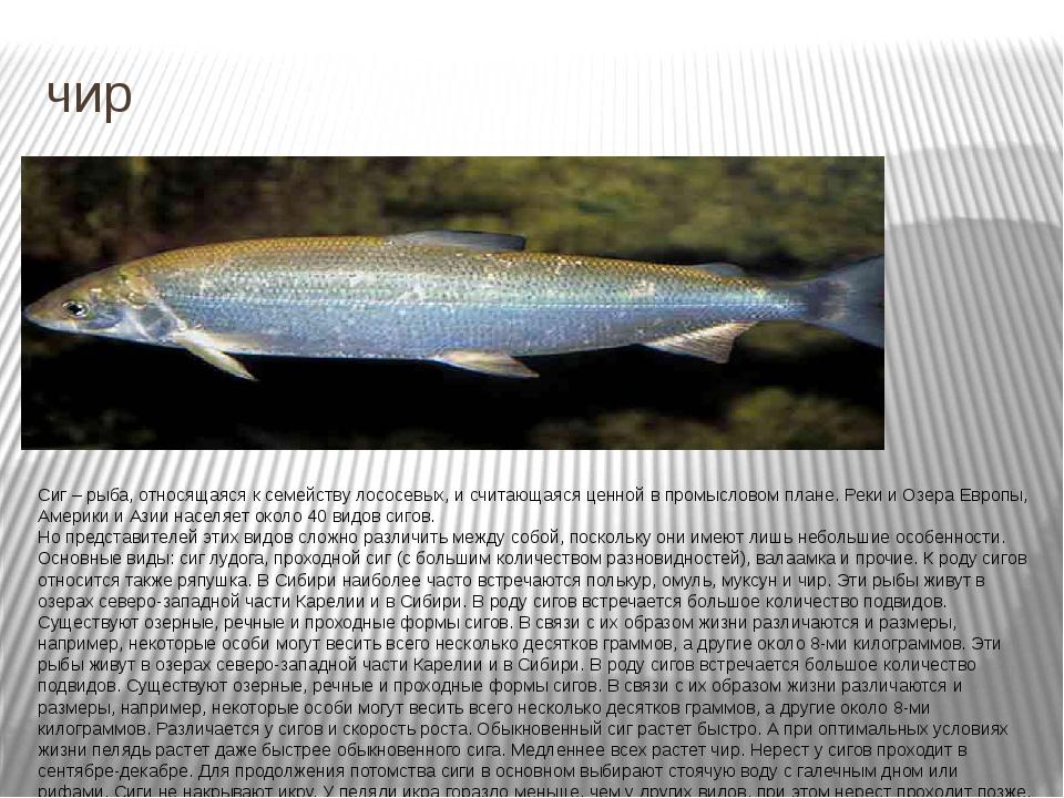 чир Сиг – рыба, относящаяся к семейству лососевых, и считающаяся ценной в про...