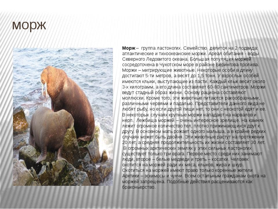 морж Морж – группа ластоногих. Семейство делится на 2 подвида: атлантические...