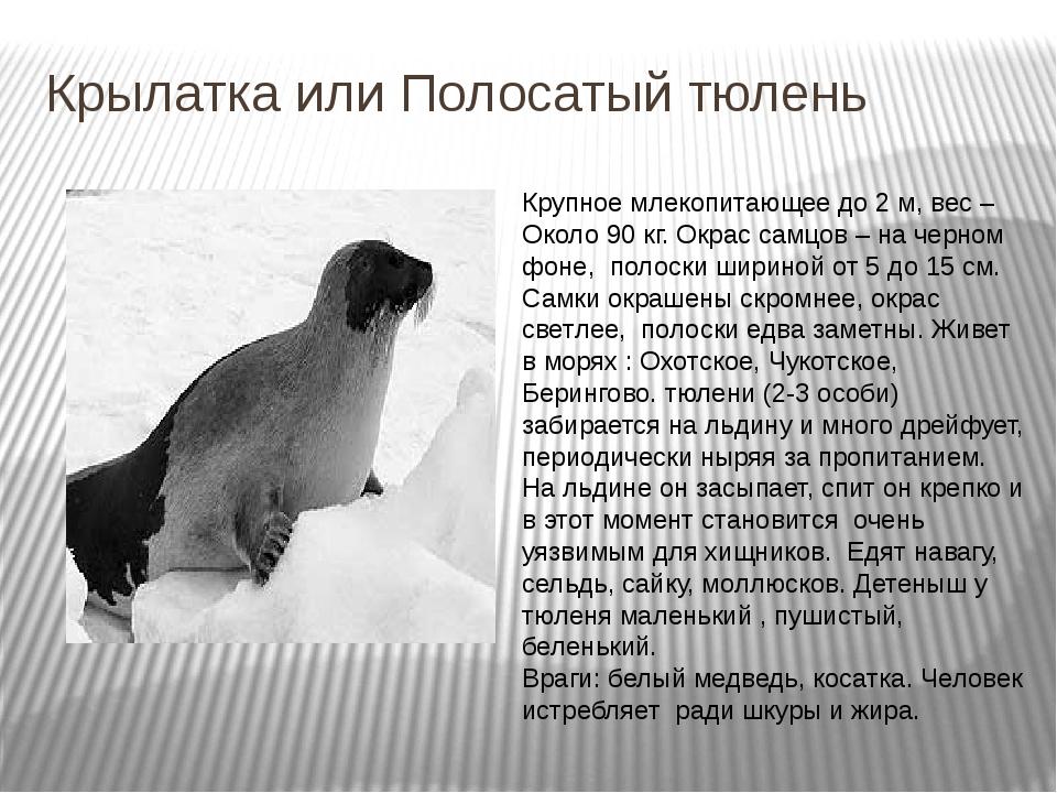 Крылатка или Полосатый тюлень Крупное млекопитающее до 2 м, вес – Около 90 кг...