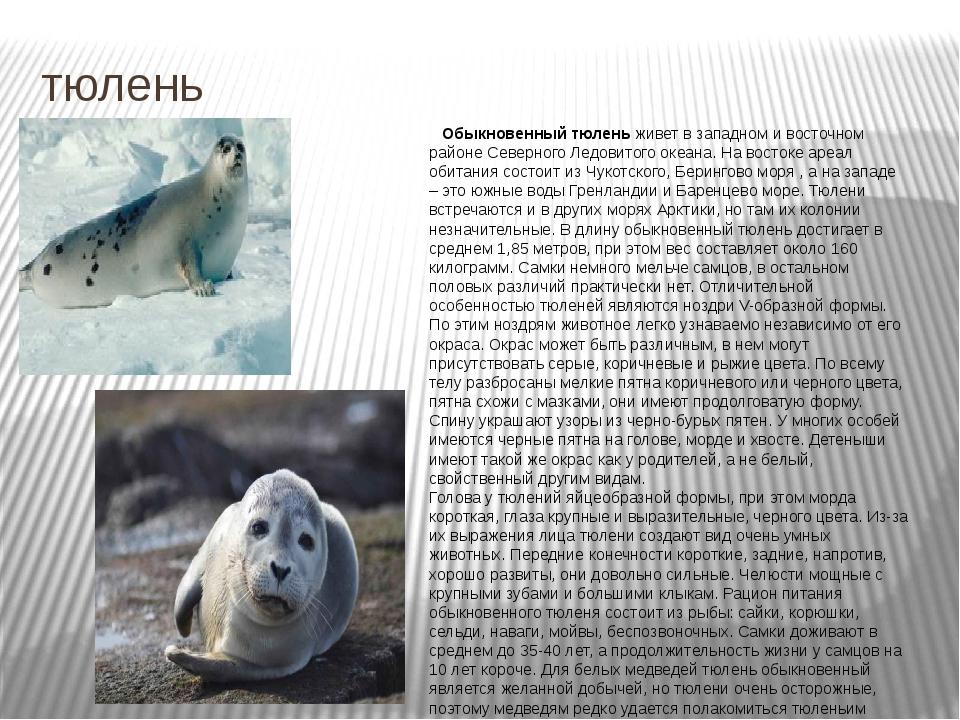 тюлень Обыкновенный тюлень живет в западном и восточном районе Северного Ледо...