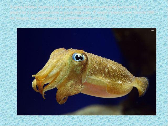 Каракатицы относятся к головоногим моллюскам и состоят в родстве с осьминогам...