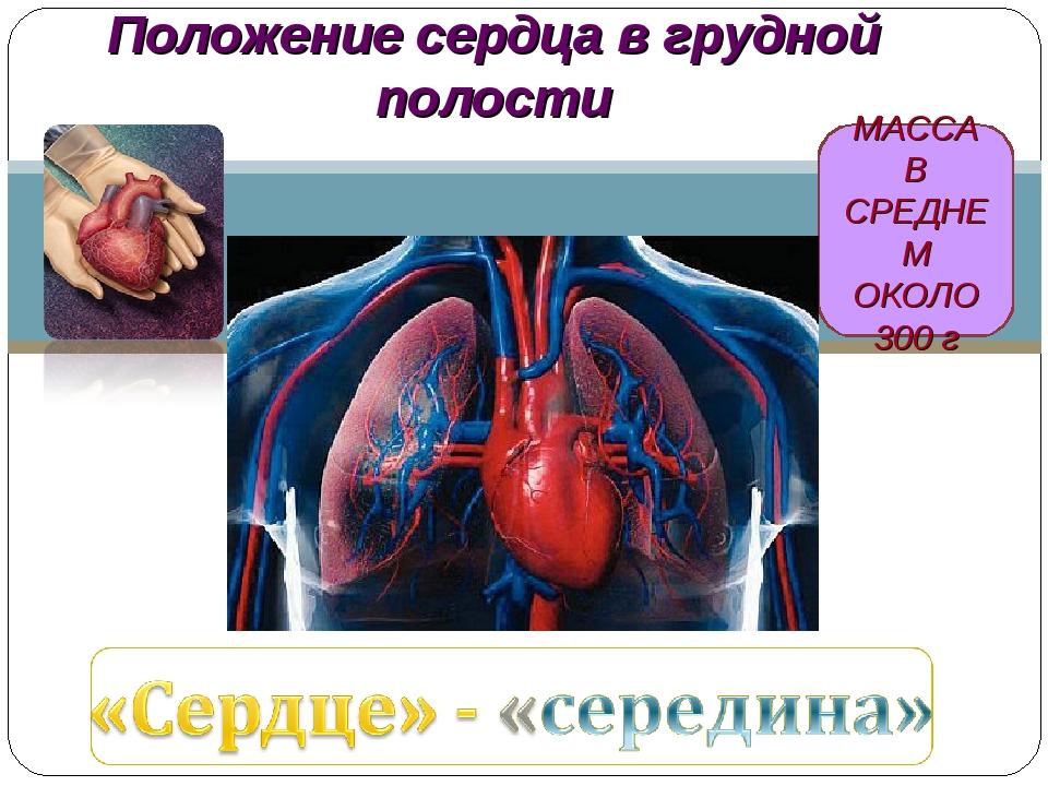 МАССА В СРЕДНЕМ ОКОЛО 300 г Положение сердца в грудной полости