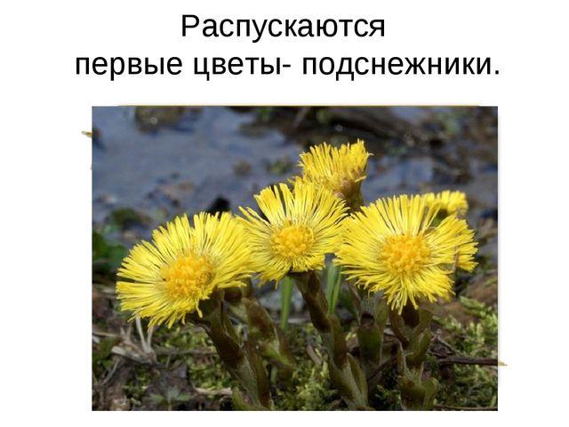 Распускаются первые цветы- подснежники.
