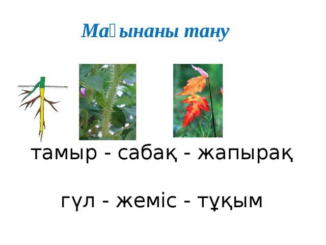 тамыр - сабақ - жапырақ гүл - жеміс - тұқым Мағынаны тану