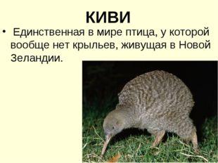 КИВИ Единственная в мире птица, у которой вообще нет крыльев, живущая в Новой