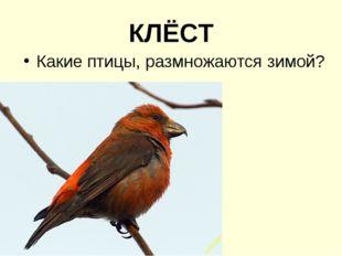 КЛЁСТ Какие птицы, размножаются зимой?