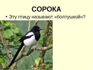 СОРОКА Эту птицу называют «болтушкой»?