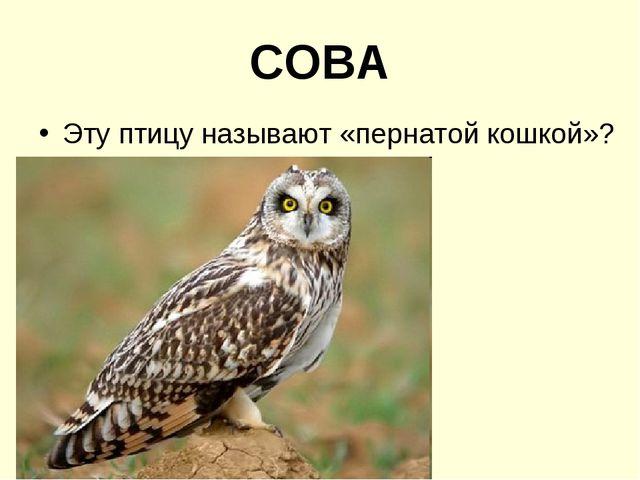 СОВА Эту птицу называют «пернатой кошкой»?