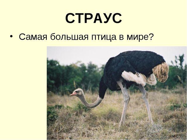 СТРАУС Самая большая птица в мире?
