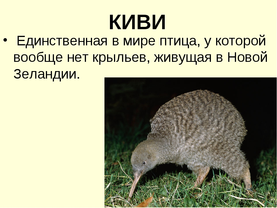 КИВИ Единственная в мире птица, у которой вообще нет крыльев, живущая в Новой...