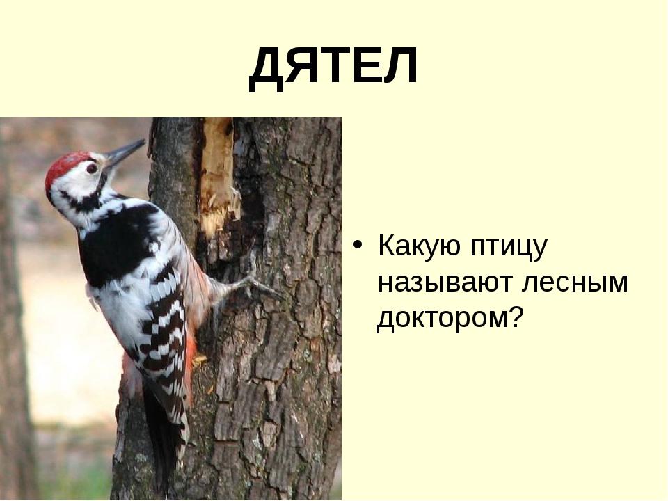 ДЯТЕЛ Какую птицу называют лесным доктором?