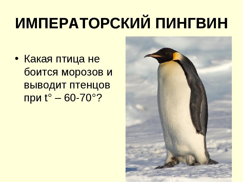 ИМПЕРАТОРСКИЙ ПИНГВИН Какая птица не боится морозов и выводит птенцов при t°...