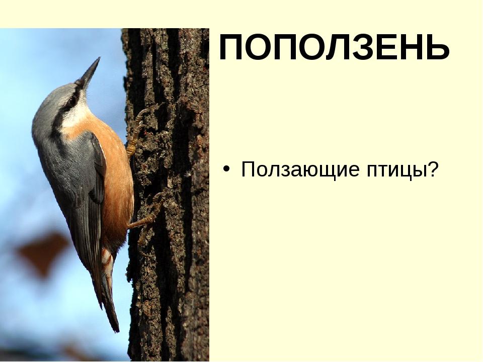ПОПОЛЗЕНЬ Ползающие птицы?