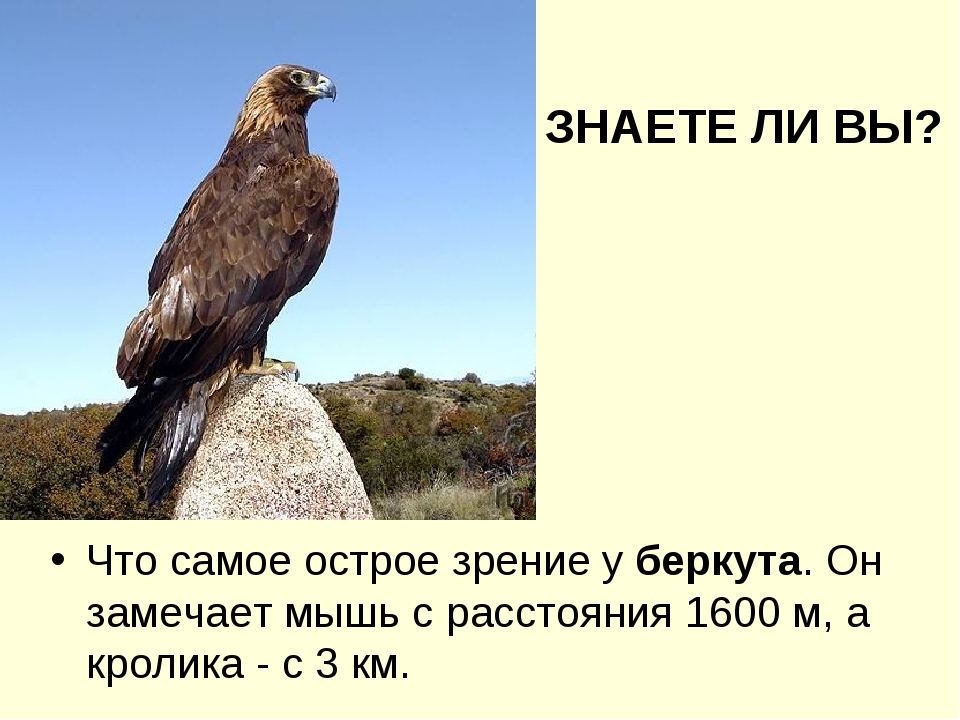 Что самое острое зрение у беркута. Он замечает мышь с расстояния 1600 м, а кр...