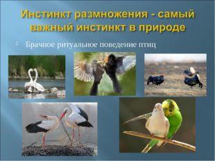 Брачное ритуальное поведение птиц