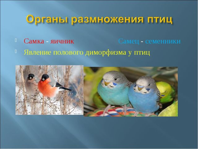 Самка - яичник Самец - семенники Явление полового диморфизма у птиц